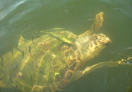 Loggerhead (Caretta caretta), Dalyan, Turkey, July 2009