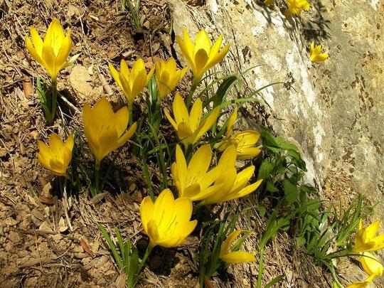 Sternbergia (Sternbergia lutea)