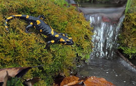 Fire Salamander (Salamandra salamandra).