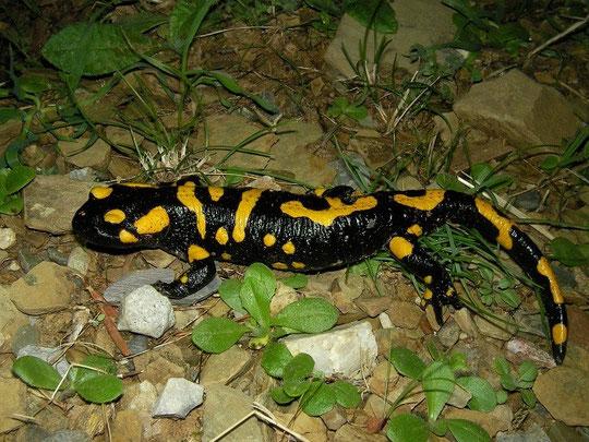 Vuursalamander (Salamandra salamandra werneri)