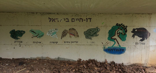 Nice mural displaying seven out of eight native Israeli amphibians at the visitors centre of Tel Dan.