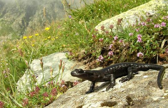 Lanza's Alpine Salamander (Salamandra lanzai), Cottian Alps, Italy, July 2010