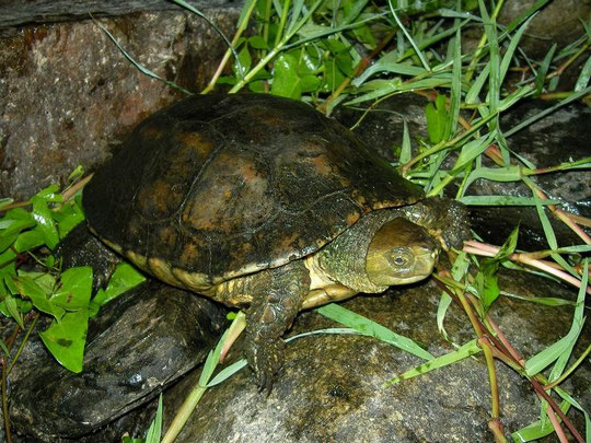 Spanish Terrapin (Mauremys leprosa), Catalonia, Spain, August 2010
