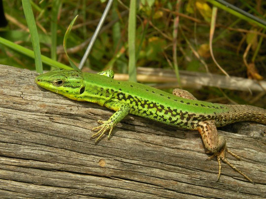 Sicilian Wall Lizard (Podarcis waglerianus), Sicily, May 2014