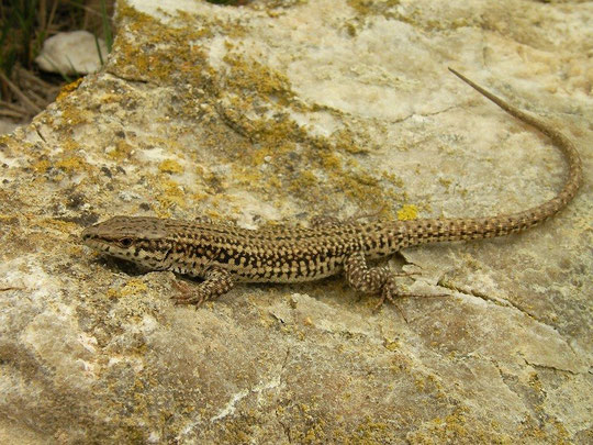 Catalonian Wall Lizard (Podarcis liolepis), Navarra, Spain, May 2012