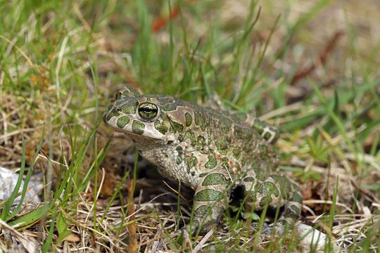 Green Toad (Bufotes viridis)