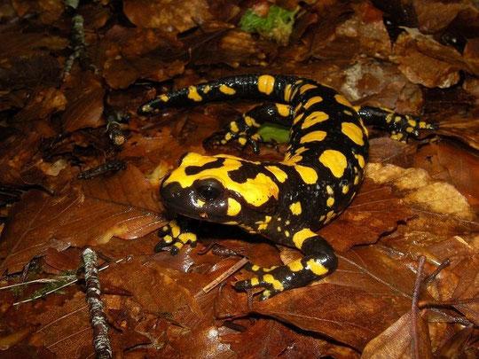 Corsican Fire Salamander (Salamandra corsica), Corsica, France, April 2011