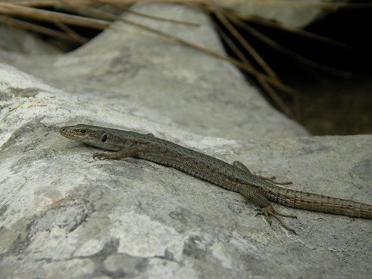 Prokletije Rock Lizard (Dinarolacerta montenegrina), Prokletije mountains, Montenegro, July 2012