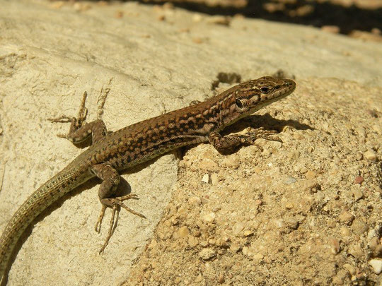 Central Iberian Wall Lizard (Podarcis virescens), Sierra de Segura, Spain, October 2011