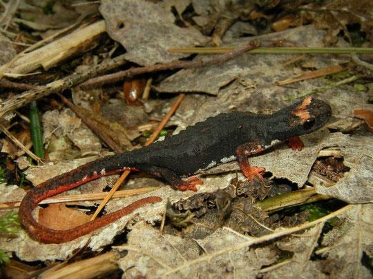 Southern Spectacled Salamander (Salamandrina terdigitata), Calabria, Italy, April 2014