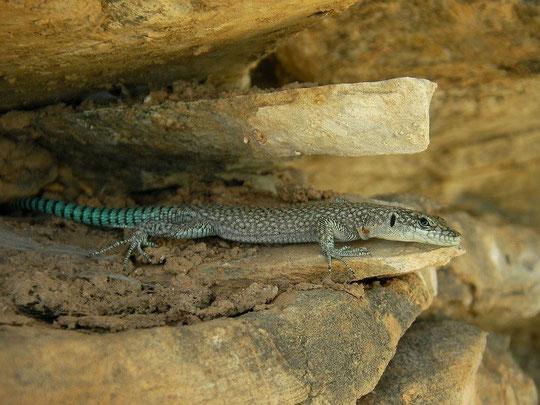 Sharp-snouted Lizard (Dalmatolacerta oxycephala), Mrtvica, Montenegro, July 2012