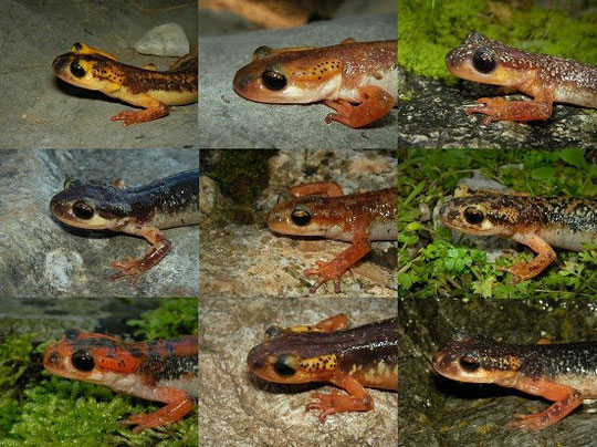 Collage picture with most Lyciasalamandra species.
