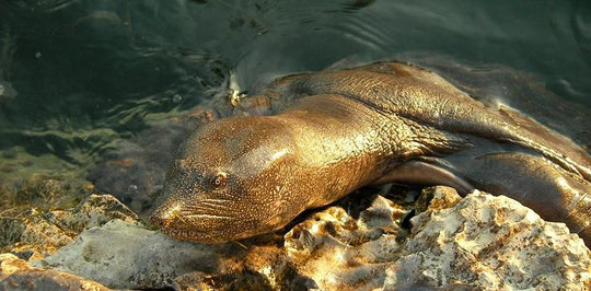 African Softshell Turtle (Trionyx triunguis), Dalyan, Turkey, July 2009