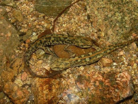 Sardinian Brook Newts (Euproctus platycephalus), Sardinia, Italy, May 2011