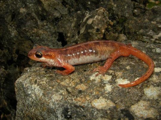 Luschani's Salamander (Lyciasalamandra luschani), Kekova, Turkey, February 2012