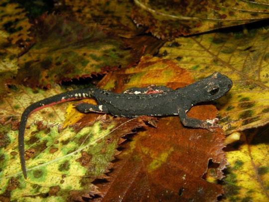 Northern Spectacled Salamander (Salamandrina perspicillata), Liguria, Italy, October 2013