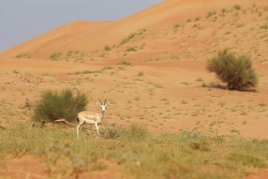 Sand Gazelle (Gazella suggutturosa marica)