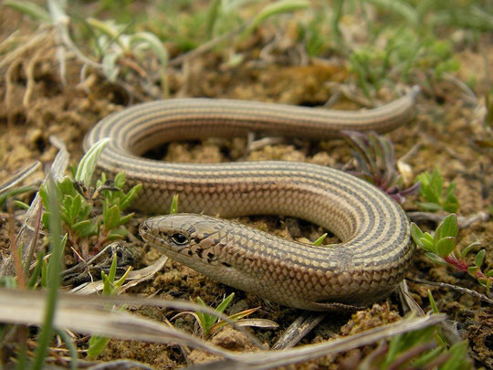 Western Three-toed Skink (Chalcides striatus), Burgos, Spain, April 2012