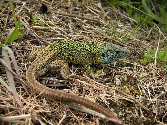 Schreiber's Green Lizard (Lacerta schreiberi) male, Galicia, Spain, May 2012