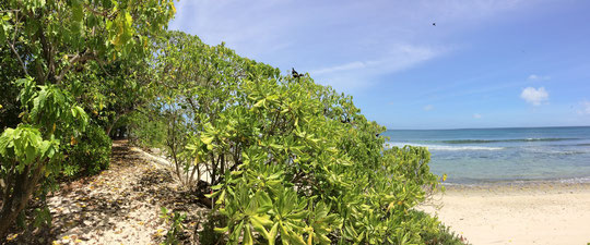 The coastline of cousin. The bushes and trees are packed with nests from Lesser Noddy.