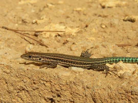 Iberian Wall Lizard (Podarcis hispanicus) juvenile, Murcia, Spain, October 2011