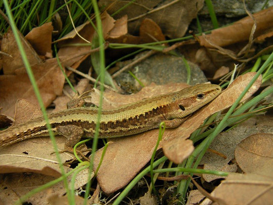 Meadow Lizard (Darevskia praticola), Dadia forest, Greece, May 2013