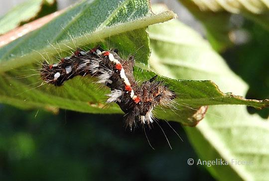 Ampfer Rindeneule (Acronita rumicis), © Mag. Angelika Ficenc