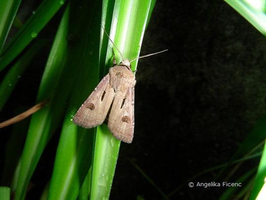 Ausrufungszeichen (Agrotis exclamationis), © Mag. Angelika Ficenc