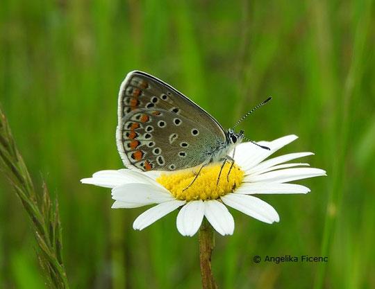 Polyommatus icarus  © Mag. Angelika Ficenc