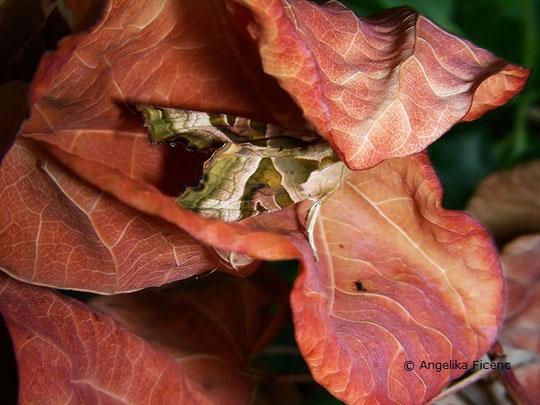 Achateule (Phlogophora meticulosa), © Mag. Angelika Ficenc