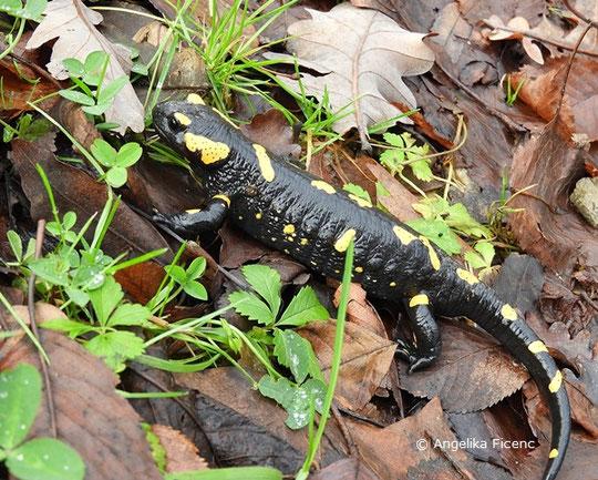 Feuersalmander (Salamandra s. salamandra),    © Mag. Angelika Ficenc