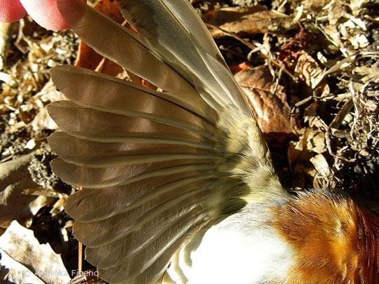 Rotkehlchen (Erithacus rubecula) -   © Mag. Angelika Ficenc