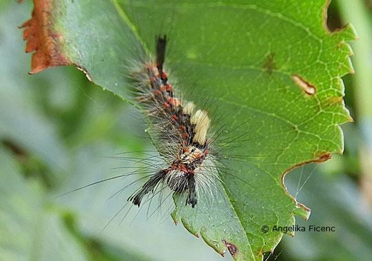 Schlehen Bürstenspinner (Orgyia antiqua), © Mag. Angelika Ficenc