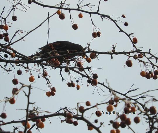 Nebelkrähe  © Mag. Angelika Ficenc