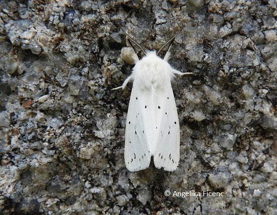 Breitflügeliger Fleckleibbär (Spilosoma lubricipeda) © Mag. Angelika Ficenc