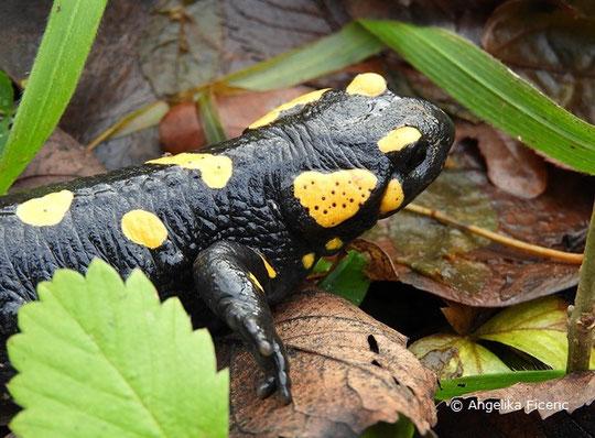 Feuersalmander (Salamandra s. salamandra), Reptil, Lurch, Tierportraits, tierspuren.at    © Mag. Angelika Ficenc