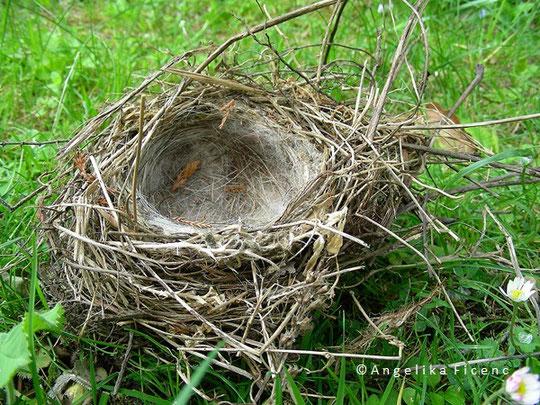Bluthänfling (Acanthis  cannabina), Nest, Tierbau, Vogel, Natur, tierspuren.at  © Mag. Angelika Ficenc