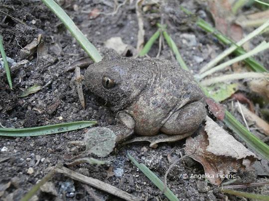 Knoblauchkröte (Pelobates fuscus), Amphib, Kröte, Tierportraits, tierspuren.at    © Mag. Angelika Ficenc