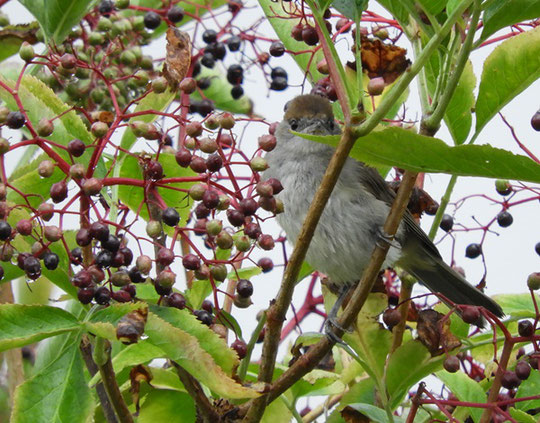 Mönchsgrasmücke (Sylvia atricapilla)    © Mag. Angelika Ficenc