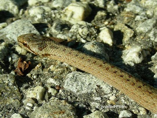 Schlingnatter (Coronella austriaca), Schlange, Reptil, Tierportraits, tierspuren.at    © Mag. Angelika Ficenc