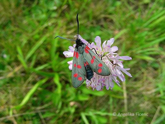Sechsfleckwidderchen (Zygaena filipendulae) © Mag. Angelika Ficenc