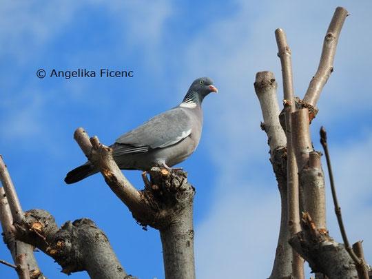 Ringeltaube   © Mag. Angelika Ficenc