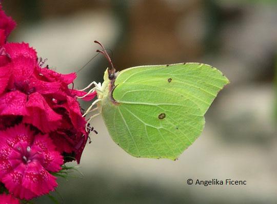 Zitronenfalter (Gonepteryx rhamni), © Mag. Angelika Ficenc