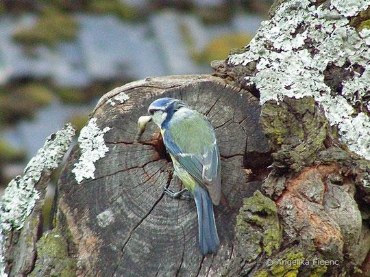 Blaumeise, Cyanistes caeruleus, © Mag. Angelika Ficenc
