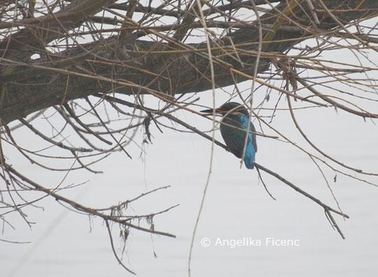 Eisvogel  © Mag. Angelika Ficenc