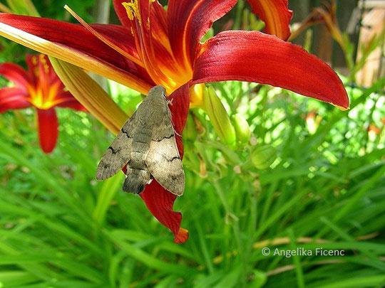 Taubenschwänzchen (Macroglossum stellatarum), © Mag. Angelika Ficenc