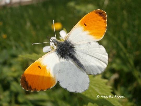 Aurorafalter (Anthocharis cardamines), © Mag. Angelika Ficenc