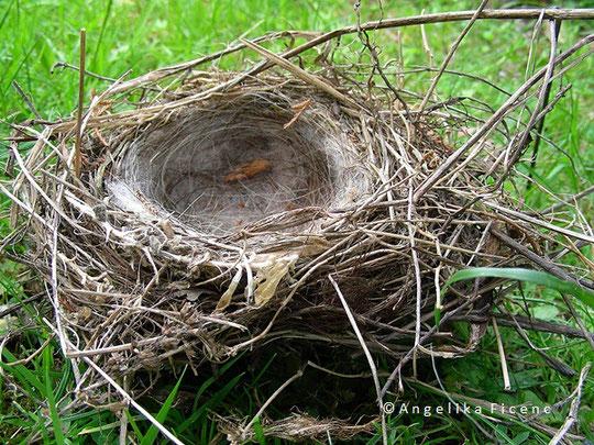 Bluthänfling (Acanthis  cannabina), Nest,  tierspuren.at  © Mag. Angelika Ficenc