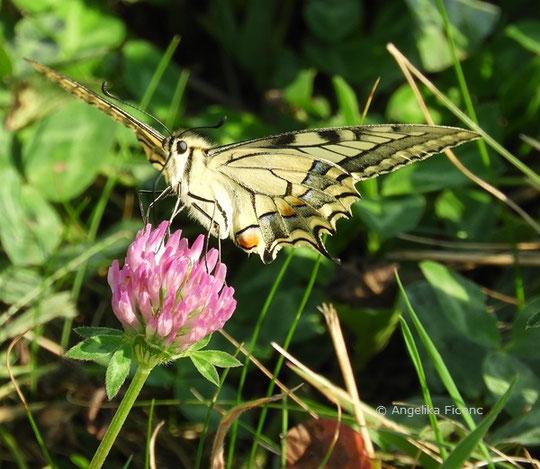 Schwalbenschwanz (Papillio machaon),   © Mag. Angelika Ficenc