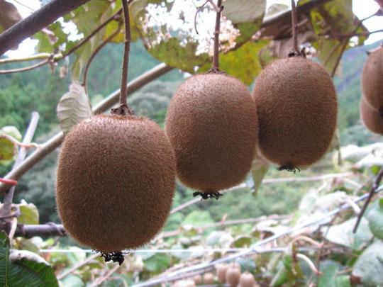 キウイフルーツは11月中旬に収穫し冷蔵庫で保存し2月末まで販売します。